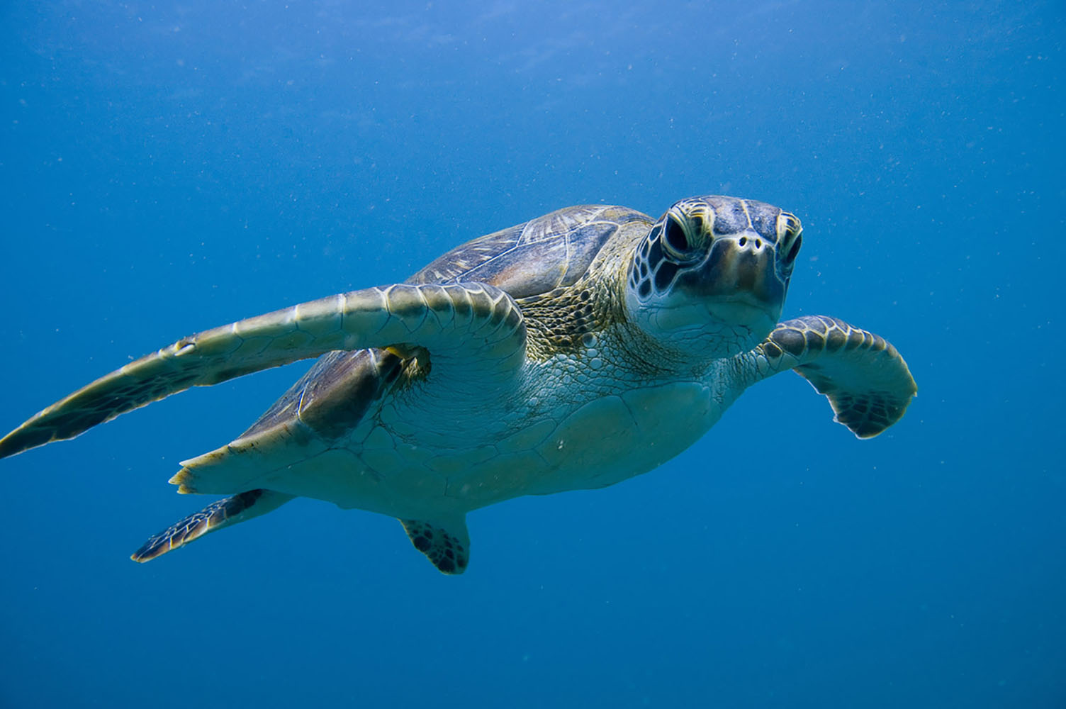 A turtle at Ningaloo Reef in Exmouth, Australia.