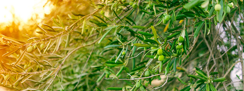 Benakopoulos Olive Mill
