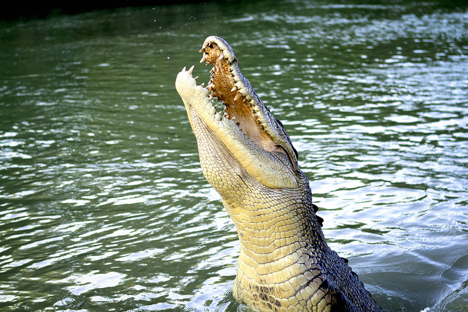 Crocodile jumping out of the water