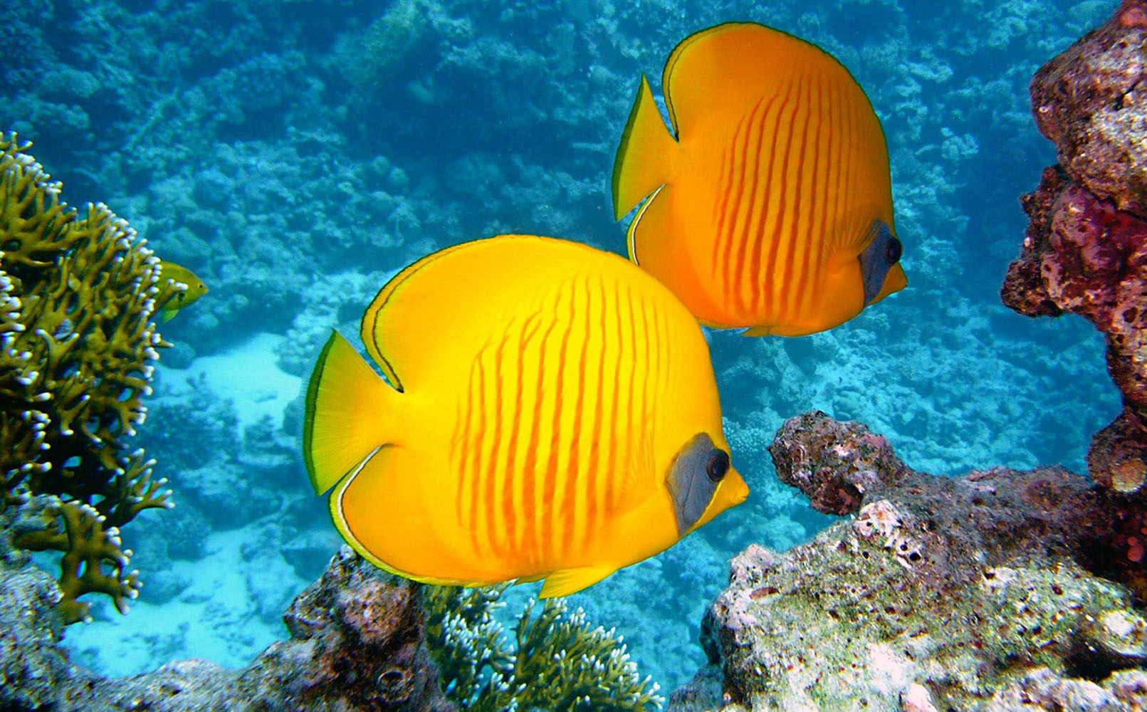 Two yellow fish in the ocean