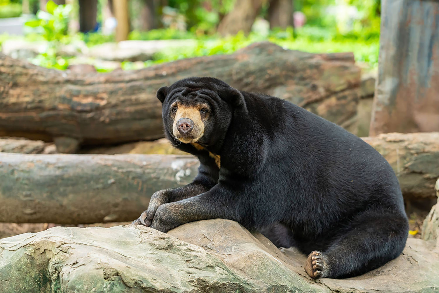 Sun Bear is resting on the rock
