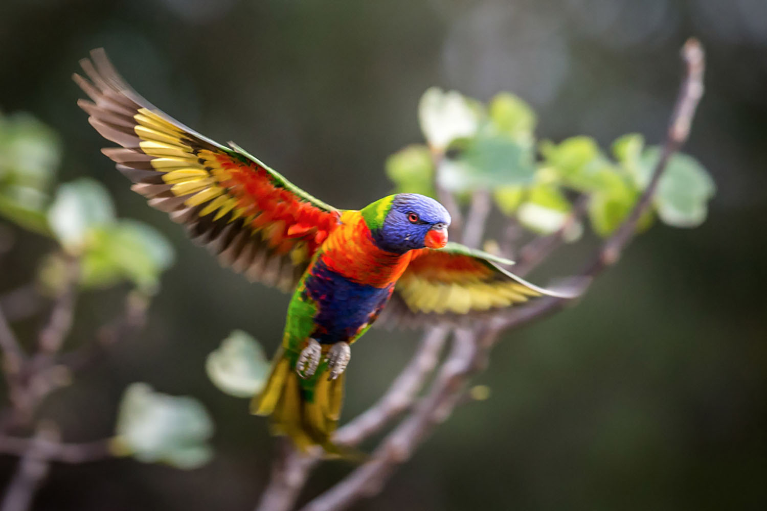 Colourful Rainbow Lorikeet comes in for landing with wings spread wide