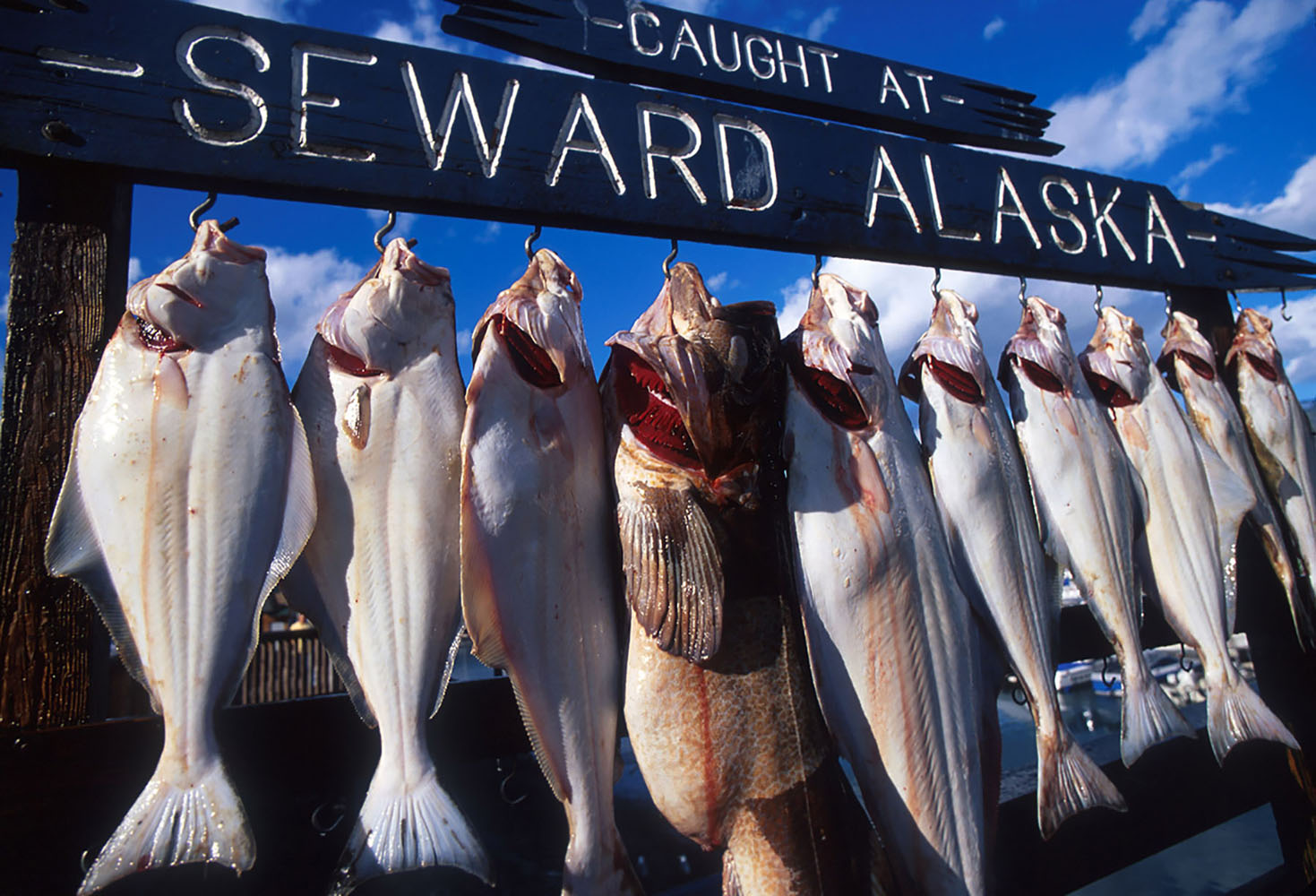 Fish hung for pictures after being caught in the waters of Seward, Alaska.