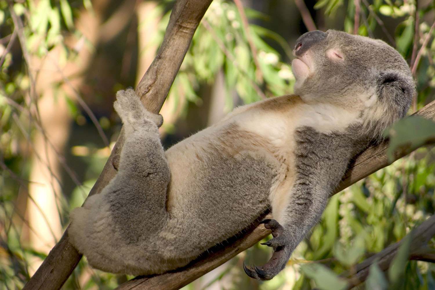 A koala relaxes in a tree
