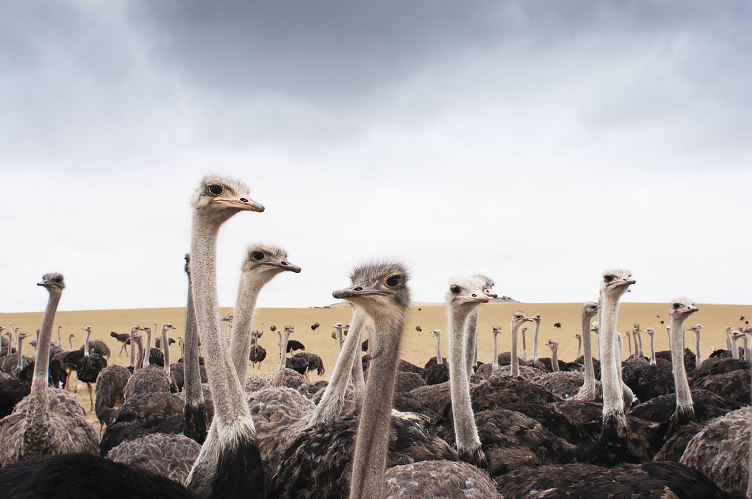 A group of ostriches in South Africa.