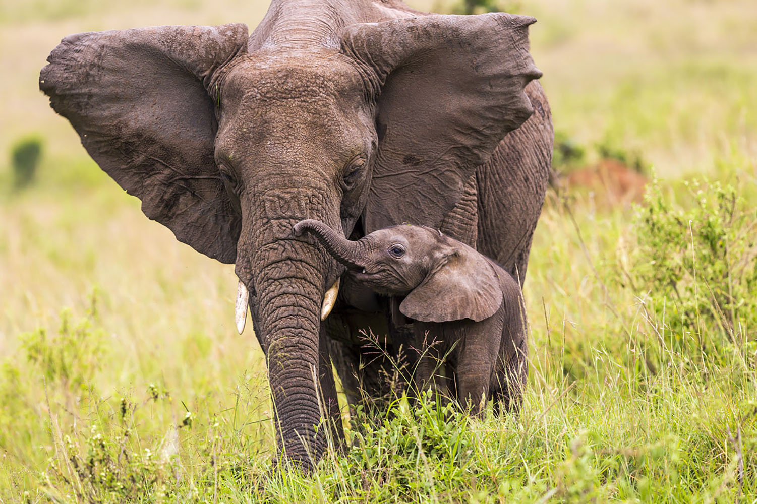 A mother and baby African elephant.