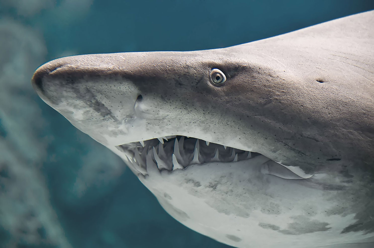Bull shark close up