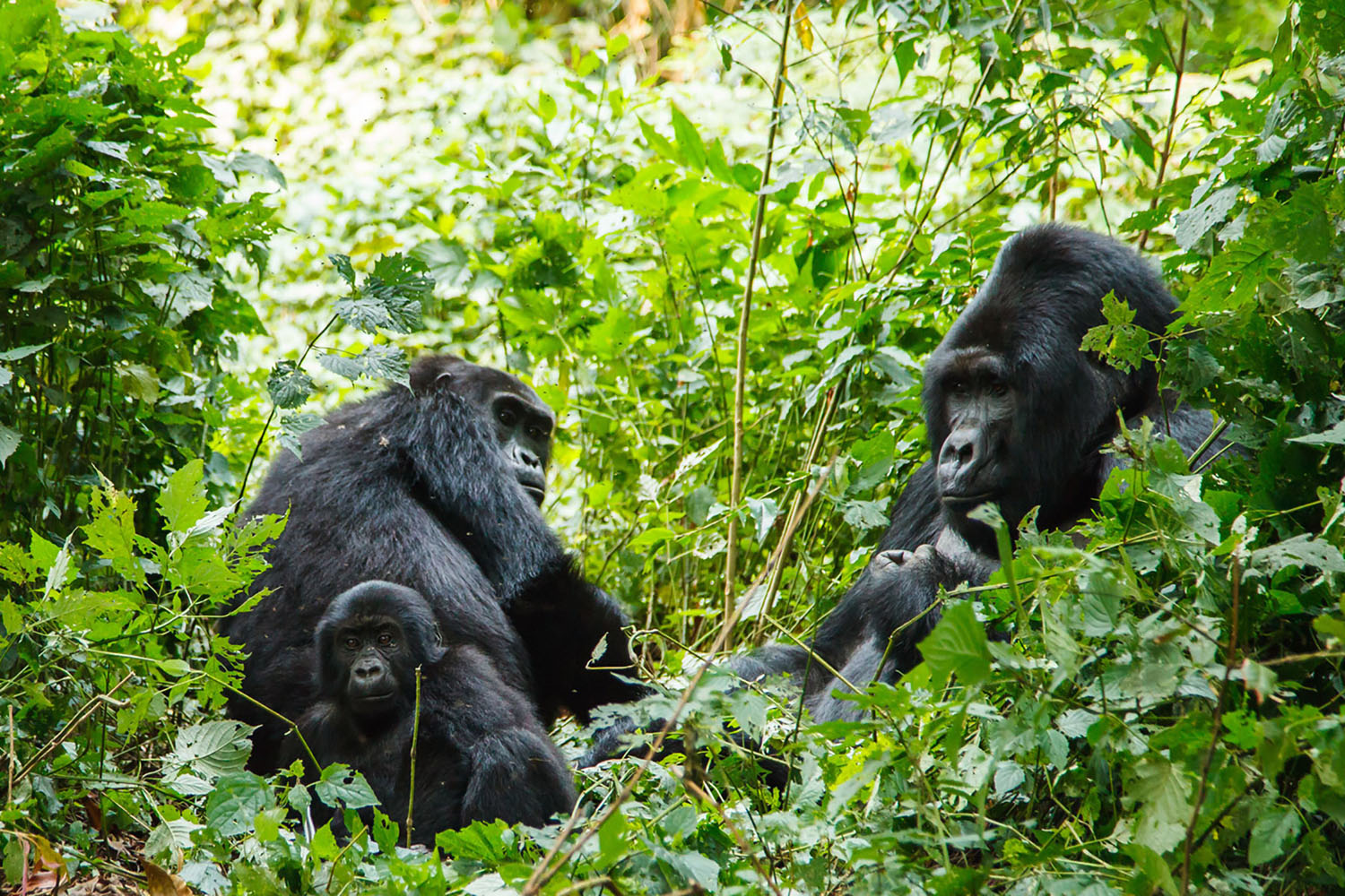 A family of silverback gorillas in the forest.