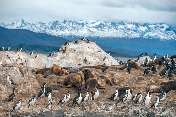 King Cormorant colony in the Beagle Channel with sea lions
