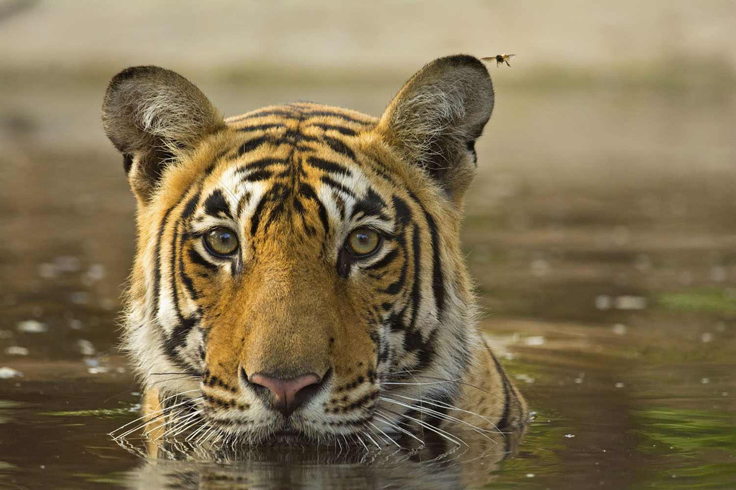 Wild tiger in a pool of water in Ranthambore National Park