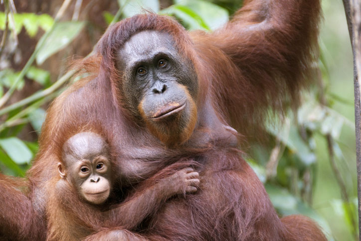 A mother and son orangutan