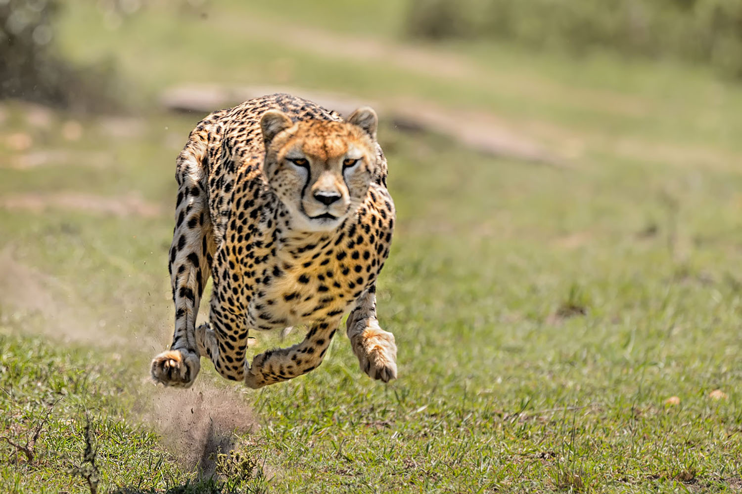 A cheetah caught in mid-air as it runs through the African Savanna.