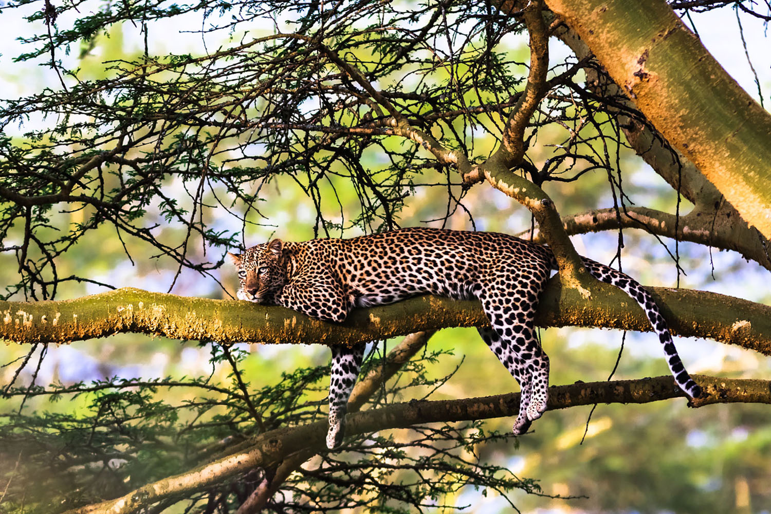 A leopard relaxing sleepily in a tree.