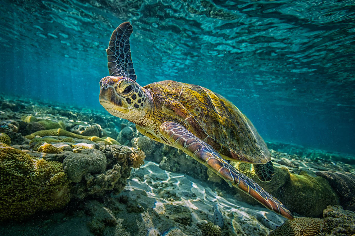 A green turtle swims in Australia