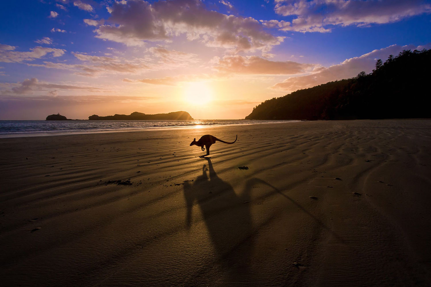 A kangaroo jumps in front of a sunrise over the beach