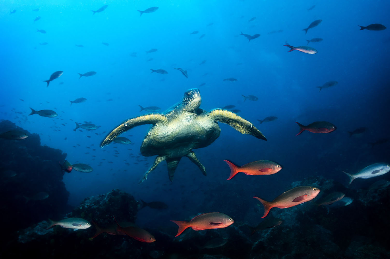 Sea turtles in the Galapagos Islands.