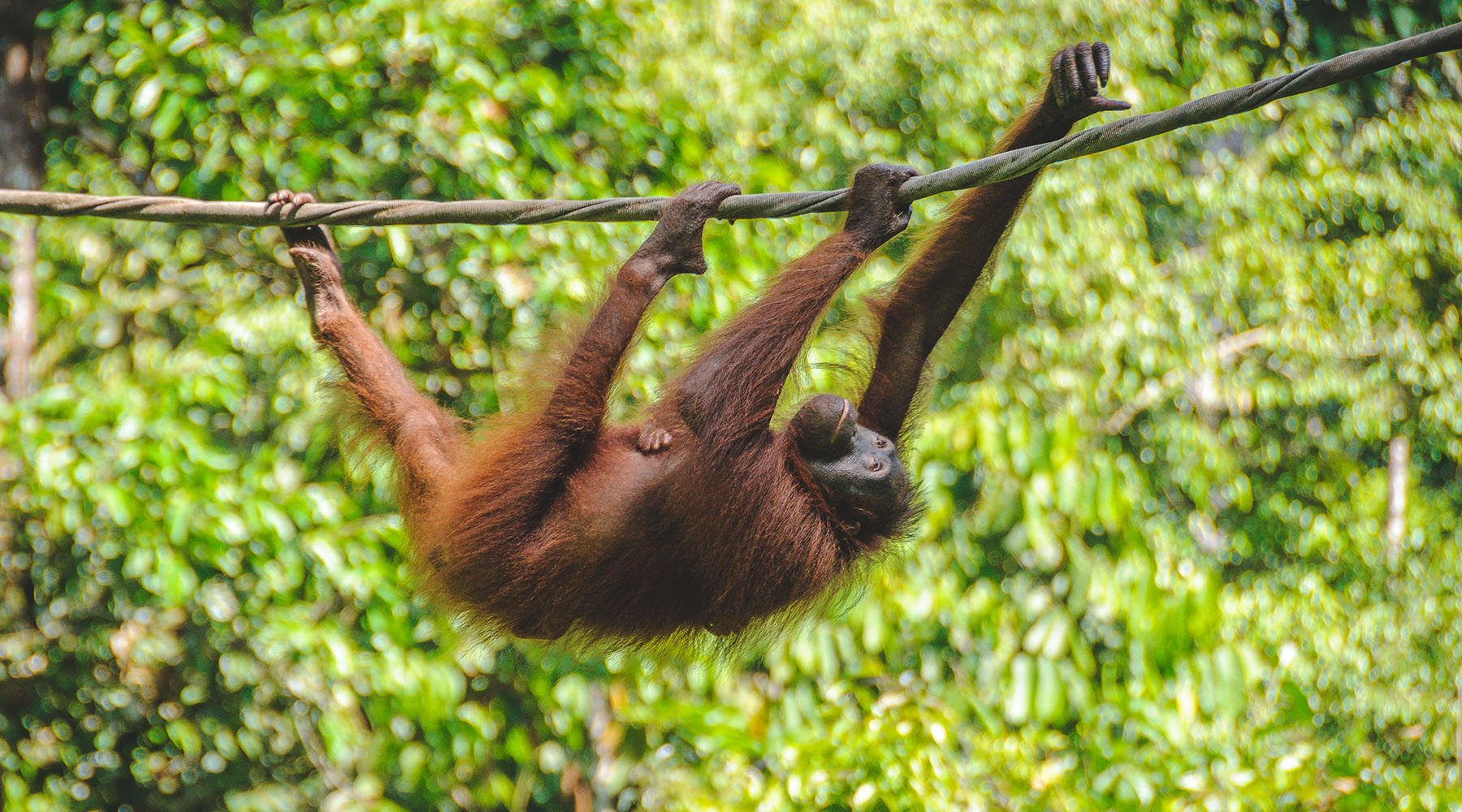 In Search of Orangutans in Borneo